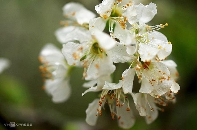 5 điểm ngắm hoa mận nở đẹp nhất Mộc Châu